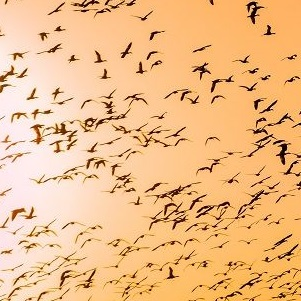 Birds-migration-snippet-1